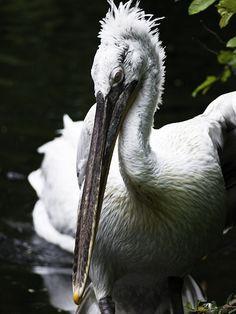 Pelican - 5/10/2013