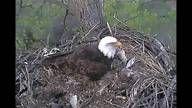 Bald Eagle Webcam