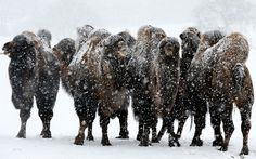 Camels huddle together in the snow at ZSL Whipsnade Zoo in Bedfordshire  Picture: Tony Margiocchi / Barcroft Media