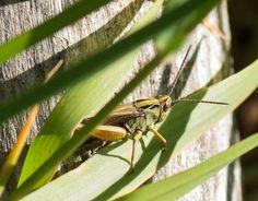 Gresshoppe,grasshopper