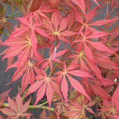 'Oshu Shidare' Japanese maple. Latin name: Acer palmatum 'Oshu Shidare'. Zones 6-9. Learn more here http://www.finegardening.com/plantguide/acer-palmatum-Oshu-Shidare.aspx