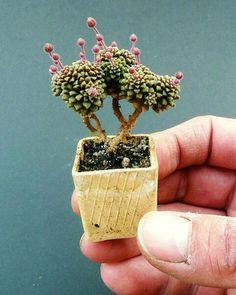 Monilaria pisiformis - Поиск в Google