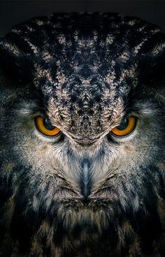 Antares, a Eurasian eagle-owl. Pet of Scorpius Hyperion Malfoy.
