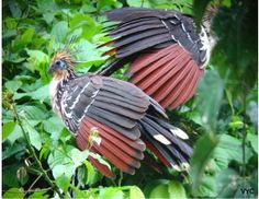 The Hoatzin - Nicknamed the Flying Cow/ Reptile bird due its crocidilian odor, its unusual diet, its harsh monotonous call and its clumsiness in air. These birds protect themselves with claws on the bend of each wing. These claws are used for scaling trees.  These are one of few herbivorous birds- main diet: flowers, fruits and leaves. They are ruminants (like cows and sheep).  Their young is protected by the release of smelly odor as well as retaining the batch of eggs inside itself.