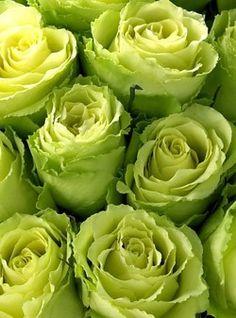 ❥ green roses