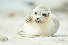 Seal by Tobias Kuhl on 500px