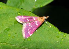 "A small pink moth, Pyrausta signatalis - or the 'Raspberry Pyrausta"""