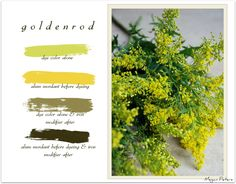 naturally dyeing with goldenrod graphic