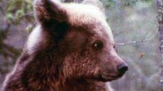 Suomen kansalliseläin karhu kömpii talven tullen muutaman kuukauden nokosille. Pimeimmän ja lumisimman kauden karhu köllöttelee pesässään vararavinnon turvin. Puolen vuoden unien jälkeen karhu kirmaisee taas kesän riemuihin. Brown Bear, Finland, Indie, History, Animals, Historia, Animales, Animaux, Animal