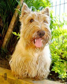 Otto from Brazil Scottish Terrier Art.