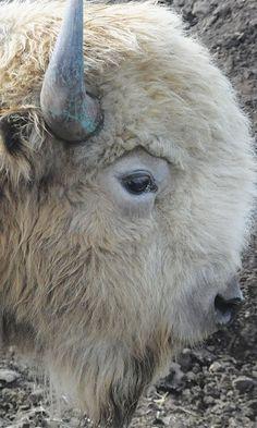 The Return Of The White Buffalo - Cowgirl Magazine Majestic Animals, Rare Animals, Unique Animals, Animals And Pets, Strange Animals, Beautiful Creatures, Animals Beautiful, Buffalo Pictures, White Bison
