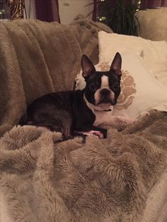 Neo 😍 #bostonterrier #hund #dog #love