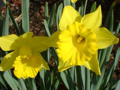 The daffodils I planted last fall.  Love their beautiful faces.