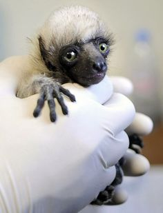Baby Lemur is a handful. happy