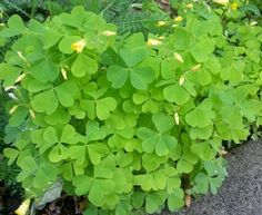 Wood sorrel, or lemon hearts