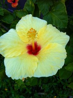 State flower, Hawaii, yellow hibiscus :)