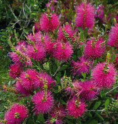 Callistemon Bright Pink Ball  Kefevirág