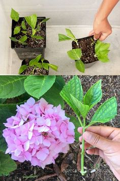 Garden Crafts, Garden Projects, Garden Ideas, Growing Flowers, Planting Flowers, Propagating Hydrangeas, Rooting Hydrangea Cuttings, English Garden Design, Hydrangea Care