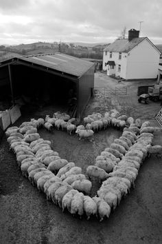 Photographer Carys Mair Evans got two flocks of in-lamb ewes to form a heart shape and then took a picture of it to help Young Farmers' Clubs in Wales raise funds for the British Heart Foundation.