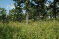 White Oak Savanna: highly endangered native Midwestern ecosystem