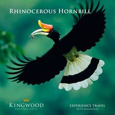 The rhinoceros hornbill is the state bird of the Malaysian state of Sarawak and the country's National Bird. Experience travel with Kingwood #KingwoodBoutiqueHotel #Miri  http://kingwoodmiri.com.my