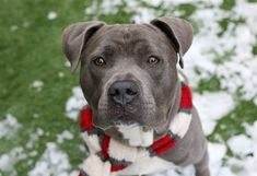 AT RISK TO BE DESTROYED 4/4/18. Bishop is at-risk of euthanasia and needs placement. Please consider opening your home today! Hello, my name is Bishop. My animal id is #18589. I am a male gray dog at the Manhattan Animal Care Center. The shelter thinks I am about 1 years 2 months 2 weeks old. I came into the shelter as a returns on 30-Mar-2018. This pet needs a new hope rescue to help you adopt.