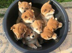Bucket of Shiba Inu puppies (x-post /r/rarepuppers) Post with 0 votes and 287328 views. Bucket of Shiba Inu puppies (x-post /r/rarepuppers) Cute Baby Animals, Animals And Pets, Funny Animals, Wild Animals, Dog Pictures, Animal Pictures, Cute Pictures, Hilarious Pictures, Funny Photos