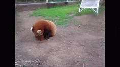 This red panda thinks hes Sonic the Hedgehog photo