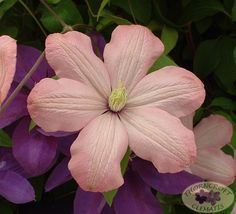 Clematis 'Ai-Nor' - Group 2
