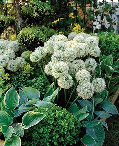 Buy allium Allium stipitatum 'Mount Everest': Delivery by Crocus.co.uk