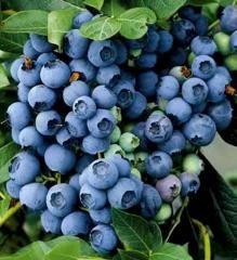 Čučoriedka kanadská ´BLUEJAY´ 40-60 cm, kont. 2 l Blueberry Plant, Blueberry Bushes, Blueberry Picking, Pic Vert, American Meadows, Hardy Plants, Garden Soil, Plantar, Gardens