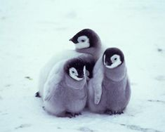 Pinguins are so adorable
