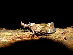 Os apêndices cefálicos das cobra-cigarras variam na forma e na cor de acordo com a espécie (Phrictus sp.) – NatGeo