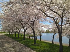 Cherry Blossom Trees at Belle Isle, Detroit, Michigan