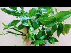 Olive Oil, Spinach, Plant Leaves, Nutrition, Vegetables, Plants, Food, Youtube, Essen