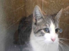 JACK - A1092232 - - Staten Island  *** TO BE DESTROYED 10/07/16 *** AHOY!….CAPTAIN…JACK….SPARROW TRIO!! These 3 month old mateys are between a rock and a hard place….The colony where they have been living is about to become a home with large dogs and they would be in danger. However, these little ones are in even worse danger at the ACC because they are listed to walk the ACC plank tomorrow at High Noon!! They are fearful little pirate cats and they