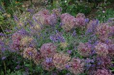 Allium e Nepeta Beth Chatto Gardens