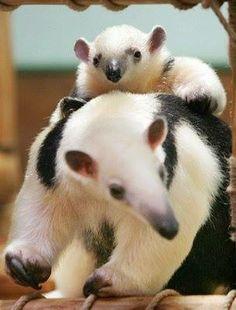 Tamandua mom and baby.