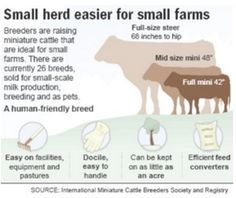 Ten Miniature Cattle Breeds for your Small Farm | Big Picture Agriculture