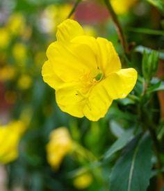 L'onagre, pour avoir une belle peau Permaculture, Rose, Gardens, Plants, Flowers, Veggie Gardens, Pink, Roses, Pink Roses
