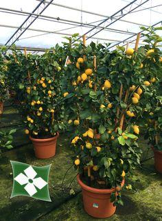 Citrus limonia formès en cercles  http://zinipiante.it/schedap_fra.php?id_p=CITRLIMO&l=1