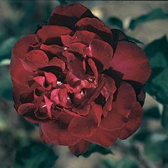 The beautiful   'Francis Dubreuil'  rose