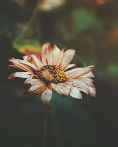 Flower Fades || Isaiah 40:8