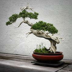 bonsai trees | ... which houses a large collection of bonsai trees. View it full size