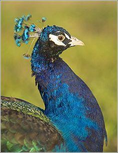 Peacocks on the Plantation