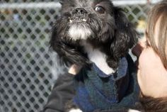 Breezy is a cute Shih tzu mix that was surrendered to an over crowded inner city facility when his owner passed away.  We found him there and brought him into our care.  Ask about our Special Companions program (www.njshelter.org) to be among the first to meet him. He is estimated to be approximately one year old.