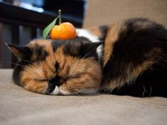 Clementine cat. Its SO fluffy!