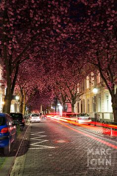 Cherry Blossoms in the Street at Night - Germany