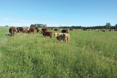 Keeping The Pasture Healthy With Managed Grazing || Image Source: https://geoffreymorell.files.wordpress.com/2016/07/34-kim-nielsen-20150818_17.jpg?w=400&h=268