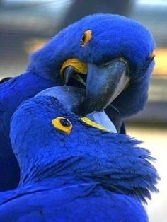 "Blue Hyacinth Macaw (parrots) Called ""The Gentle Giants"" because they are so gentle even though they are the largest parrots in the parrot family."